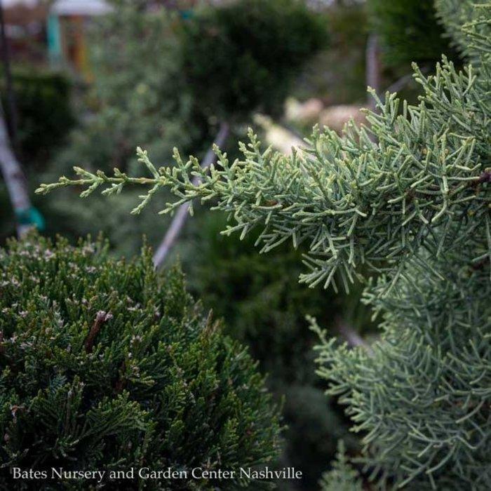#5 Cupressus arizonica var. glabra Chaparral/Blue Arizona Cypress
