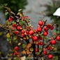 #1 Cotoneaster apiculatus Tom Thumb/Cranberry
