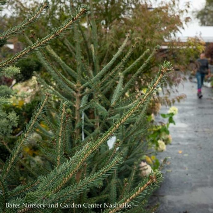 #10 Picea abies/Norway Spruce