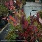 #2 Itea virginica Scentlandia/Virginia Sweetspire