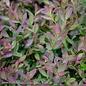 #2 Vaccinium Bushel and Berry Sapphire Cascade/Blueberry