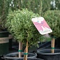 #2 Patio Tree Rosmarinus Tuscan Blue/Rosemary No Warranty