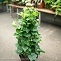 6p! Ivy Topiary Tree Cone /Tropical