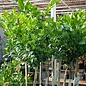Tropical #5 Citrus Mexican Lime Tree NO WARRANTY