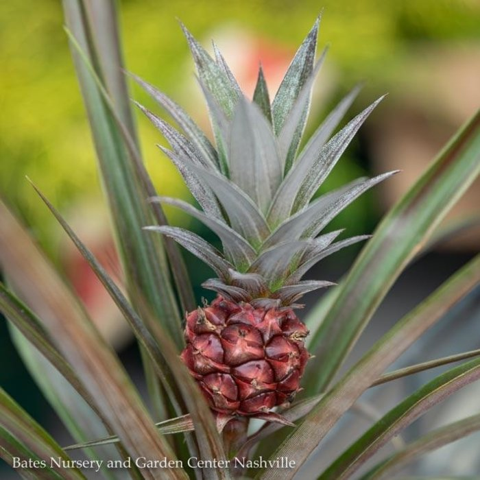 5p! Pineapple Plant Red /Tropical