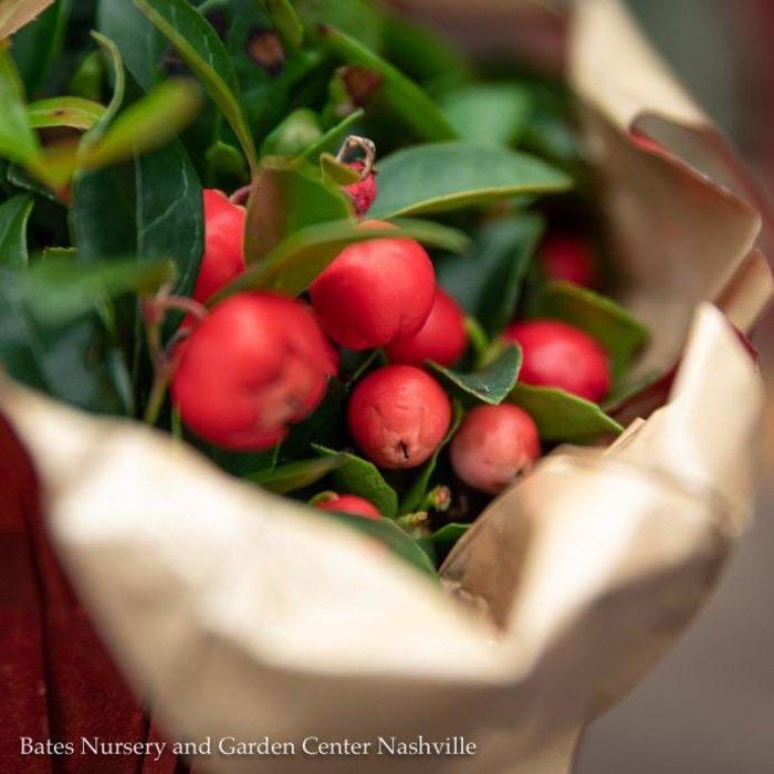#1 Gaultheria procumbens/Creeping Wintergreen