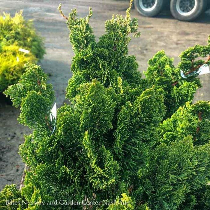 #6 Chamaecyparis obt Spiralis/Hinoki Falsecypress Upright