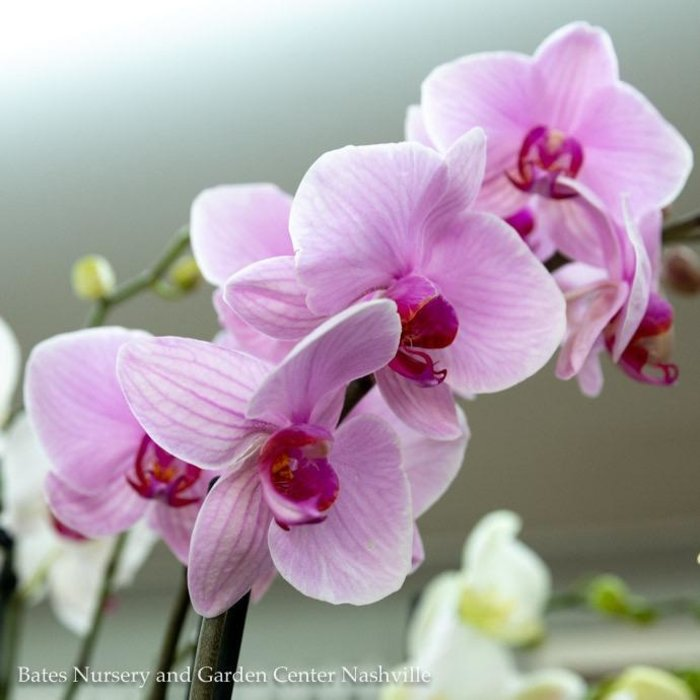 5p! Orchid Phalaenopsis /Tropical  Assorted Colors 29.99