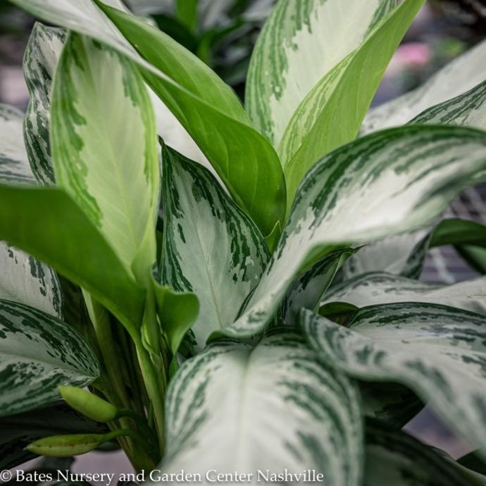 8p! Aglaonema Asst / Chinese Evergreen /Tropical