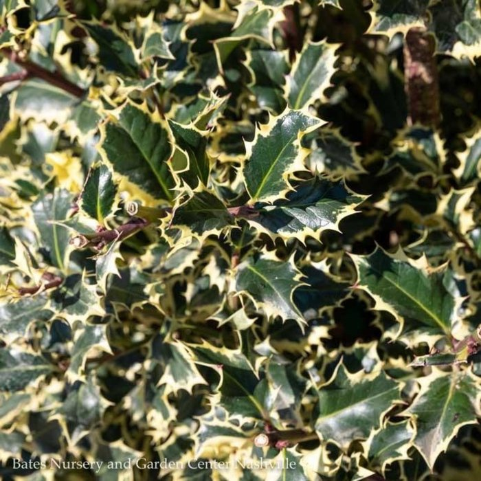 #7 Ilex aquifolium Argenteo Marginata/Variegated English Holly Female