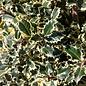 #15 Ilex aquifolium Argenteo Marginata/Variegated English Holly Female