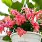 4p! Christmas Cactus /Tropical