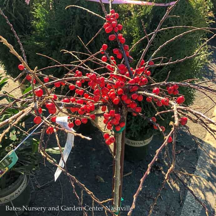 #5 Patio Tree Cotoneaster apiculatus/Cranberry