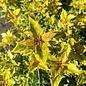 #5 Osmanthus heter Goshiki/False Holly