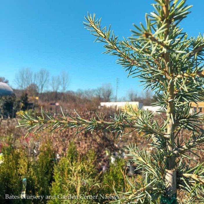 #5 Cedrus deodara Karl Fuchs/Deodar Cedar