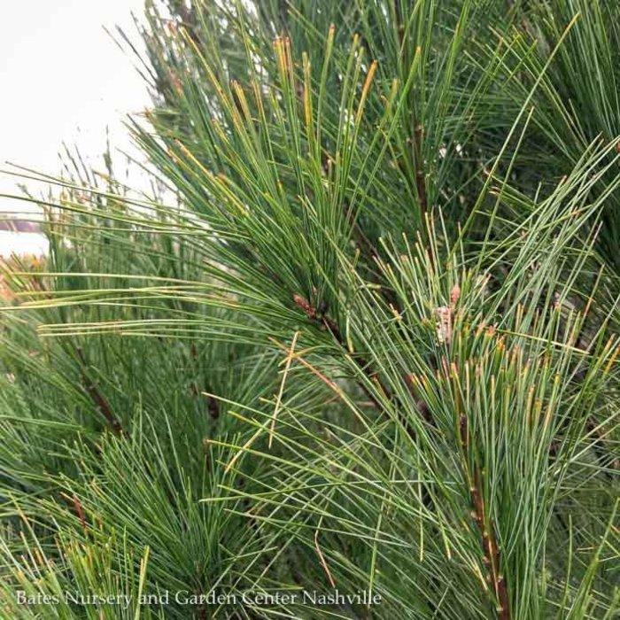 Non-Warranted 4-5' Pinus strobus/Eastern White Pine