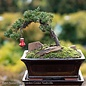 6p! Bonsai Plant Assorted Styles /Tropical