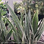 4p! Sansevieria Star Power /Mother-in-Law Tongue/Snake Plant /Tropical