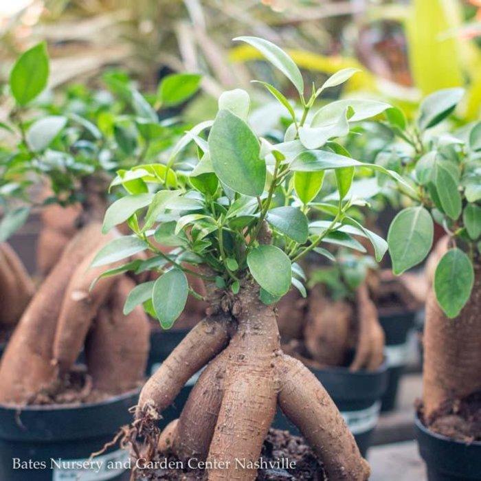 4p! Ficus Microcarpa 'Ginseng' /Tropical