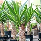 5p! Yucca Variegated Cane /Tropical