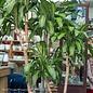 14p! Dracaena Massangeana Appeal /Corn Plant /Tropical