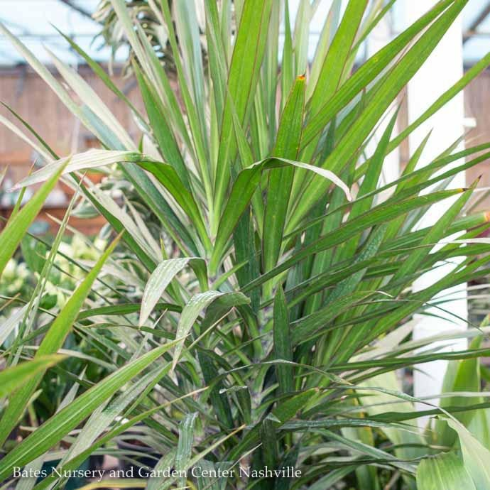 12p! Dracaena Tarzan Tree 3ppp /Tropical