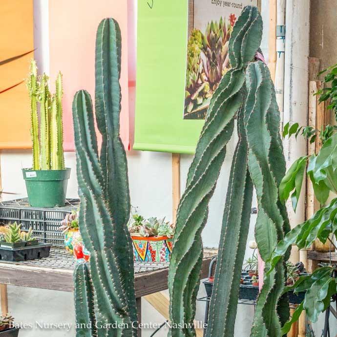 14p! Cactus Cereus Peruvians Swirl 1ppp /Tropical