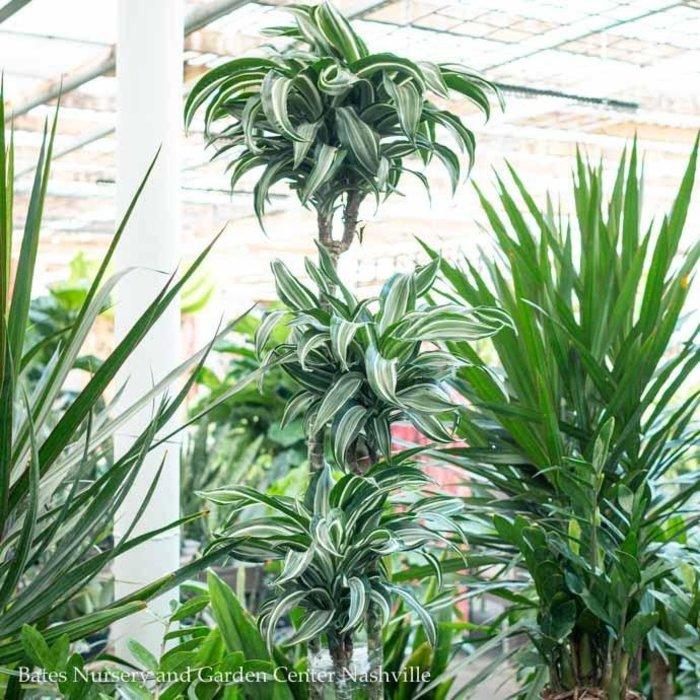 10p! Dracaena Jade Jewel 3'2'1' /Tropical
