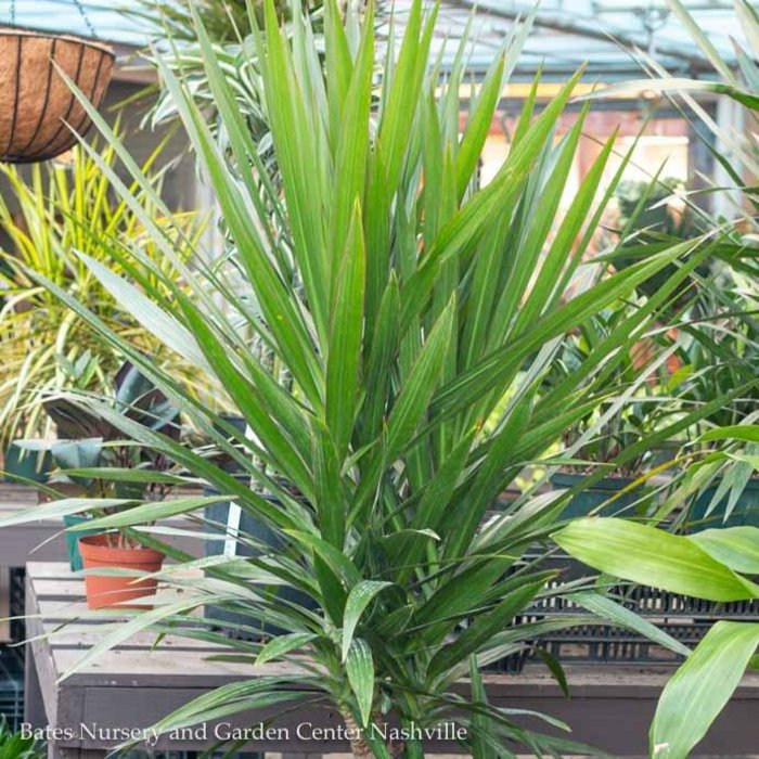 14p! Dracaena Tarzan Tree 3ppp /Tropical