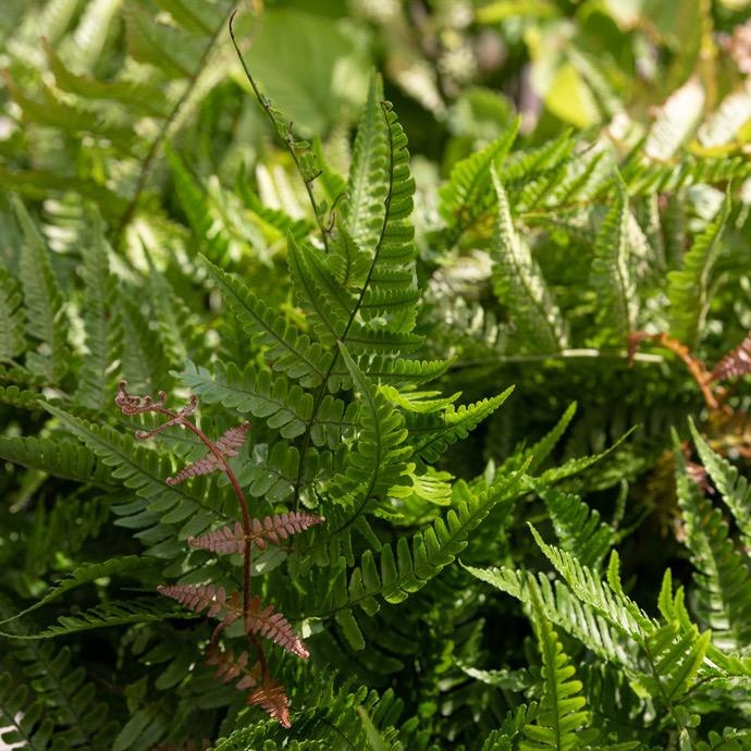 #3 Dryopteris erythrosora/Autumn Fern