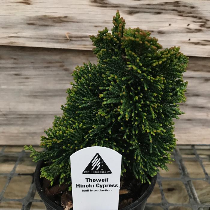 LPP Chamaecyparis obtusa Thoweil/Hinoki Falsecypress No Warranty