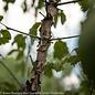 #15 Acer griseum/Paperbark Maple