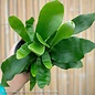 4p! Fern - Staghorn Fern /Tropical
