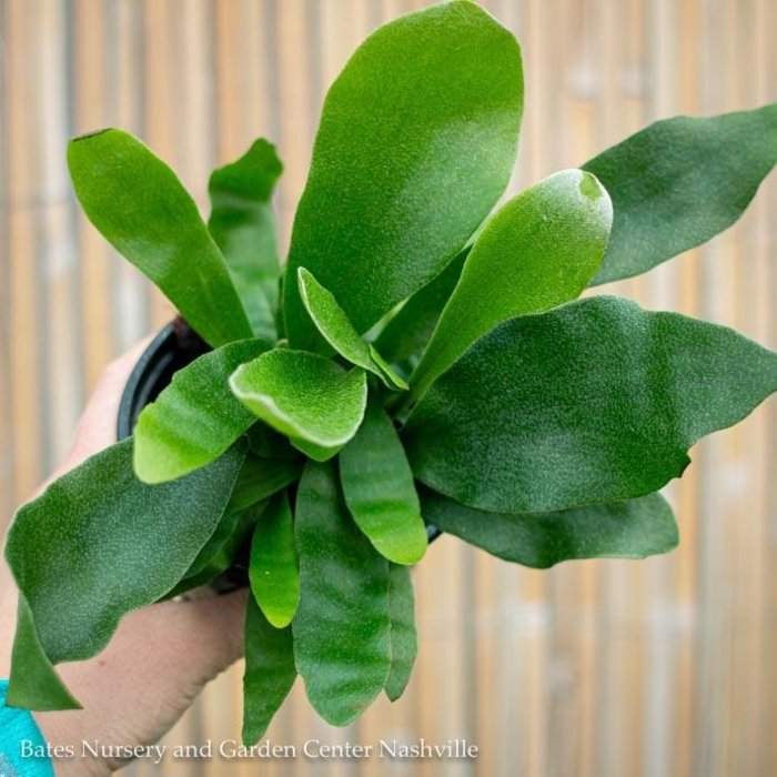 6p! Fern - Staghorn Fern /Tropical