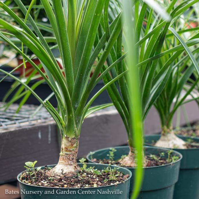 4p! Palm Ponytail Stump /Tropical