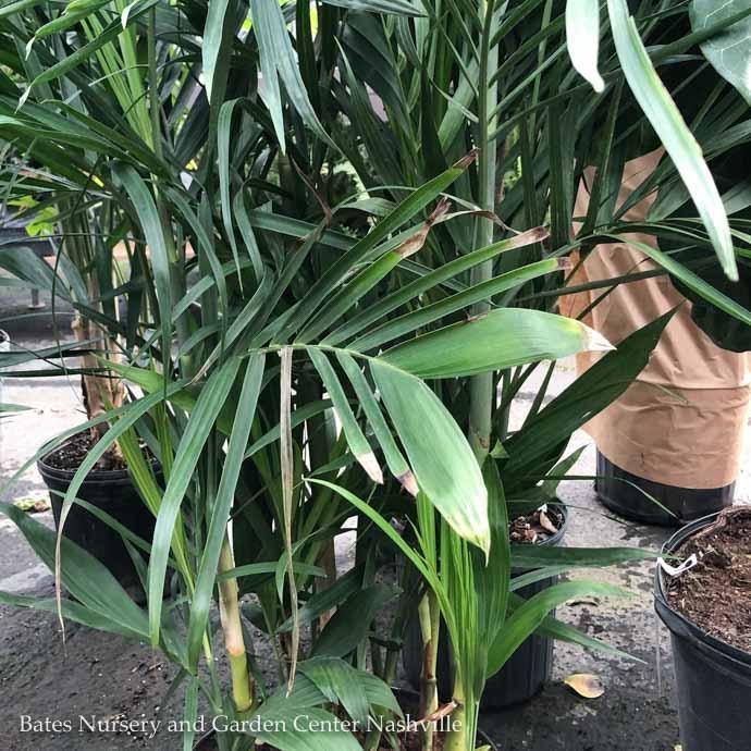 10p! Palm SeifrizII / Bamboo Palm /Tropical