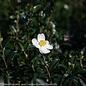 #3 Camellia Survivor/White No Warranty