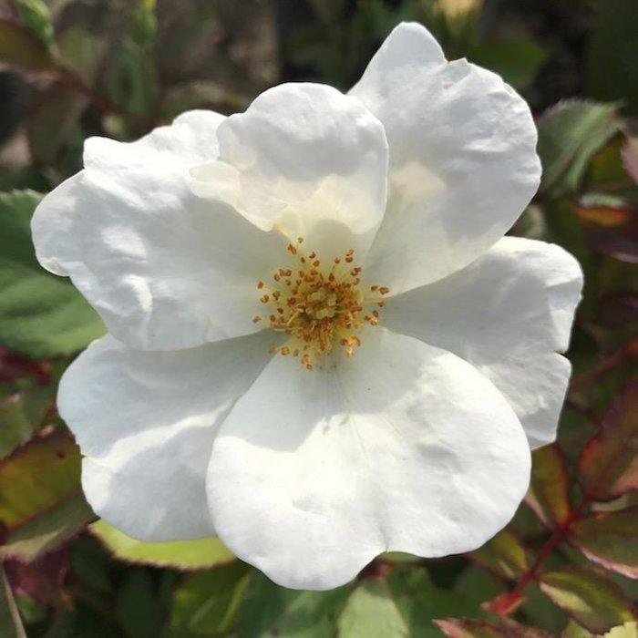 #3 Rosa Knock Out White/Shrub Rose NO WARRANTY