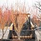 4' Acer pal Bihou/Japanese Maple Yellow-Green Upright