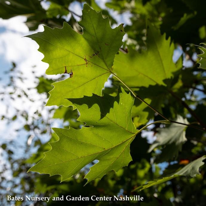 "#25 Platanus x acerifolia Morton Circle/Exclamation London Planetree   2"" caliper"
