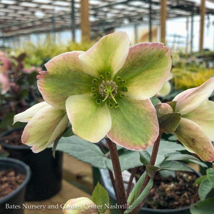 #1 Helleborus Ivory Prince/Lenten Rose