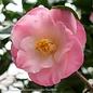 #5 Camellia j April Remembered/Pink No Warranty