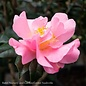 #3 Camellia j Autumn Pink Icicle/Pink No Warranty
