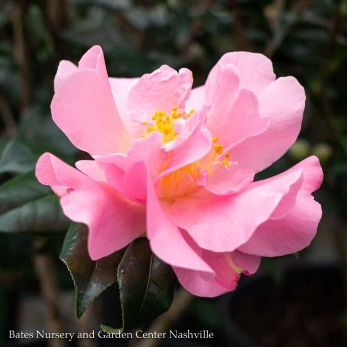 #1 Camellia j Pink Icicle/Pink No Warranty