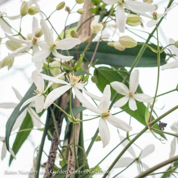 #2 Clematis Armandii/Evergreen White