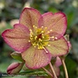 #1 Helleborus Ice N'Roses Red/Lenten Rose