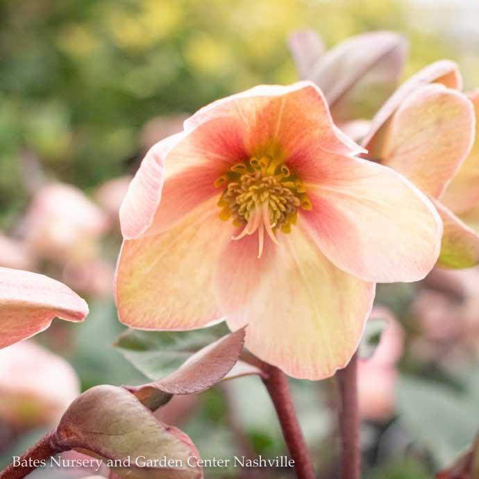 #1 Helleborus Pink Frost/Lenten Rose