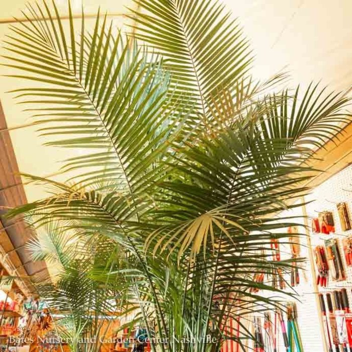 14p! Palm Ravenea R Multi / Majesty Palm /Tropical