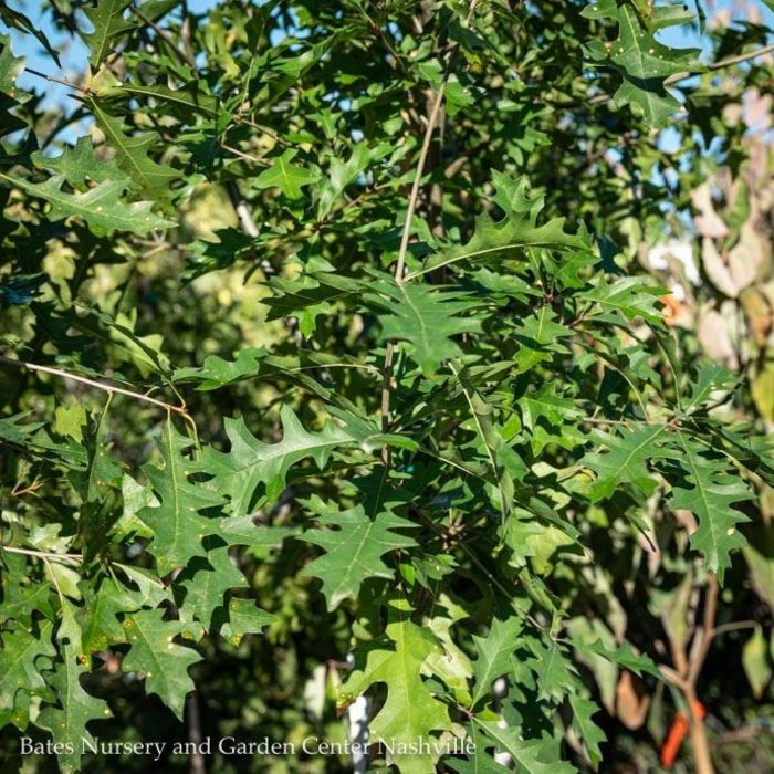 #5 Quercus nuttallii/Nuttall Oak