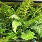 #1 Polystichum polyblepharum/Tassel Fern